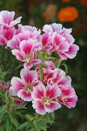 Pin Von Martina Dell Auf Natur Schone Blumen Rosafarbene Bluten Bluhende Pflanzen