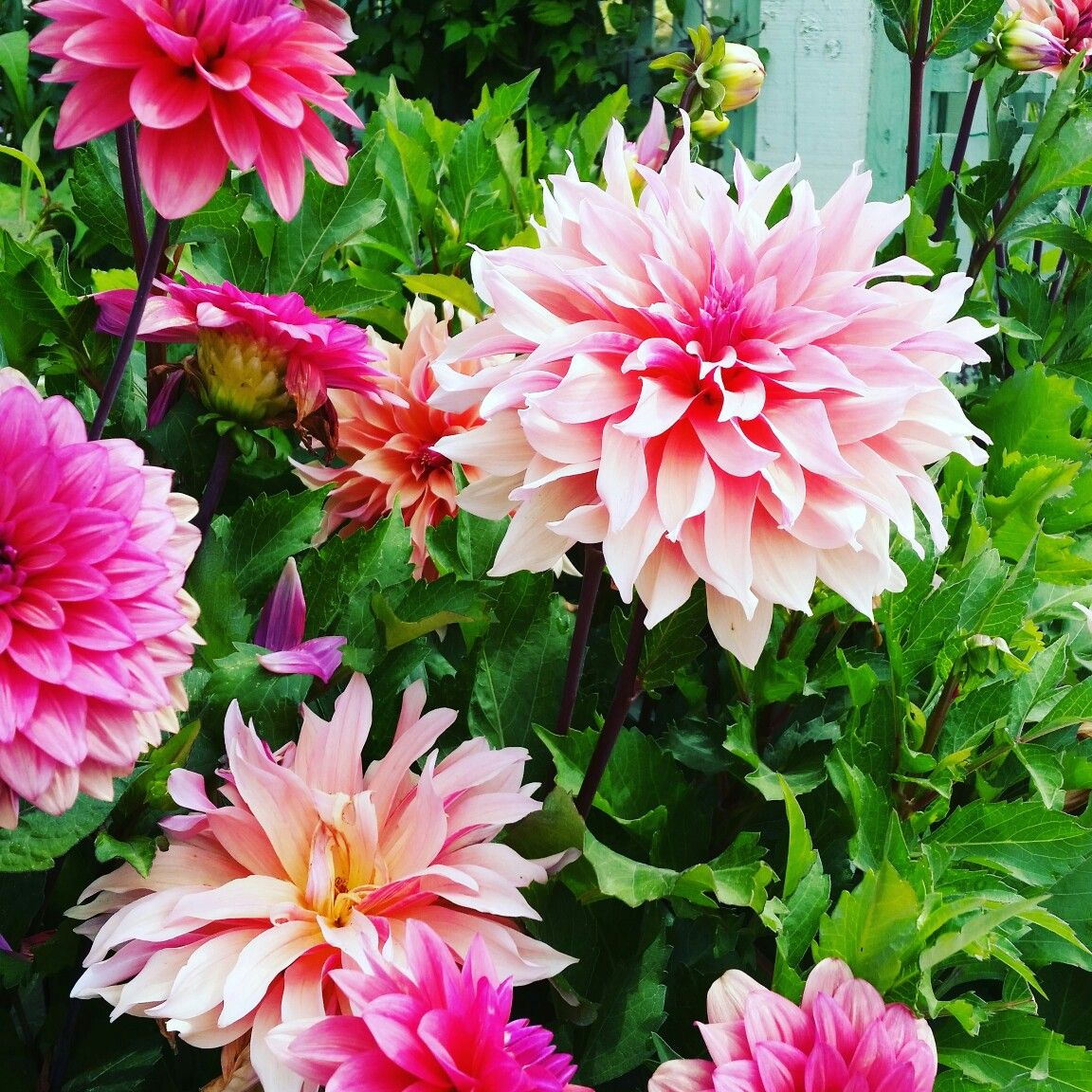 Pin By Stephanie Collins On Dahlias Delight In 2020 Plants Dahlia Garden