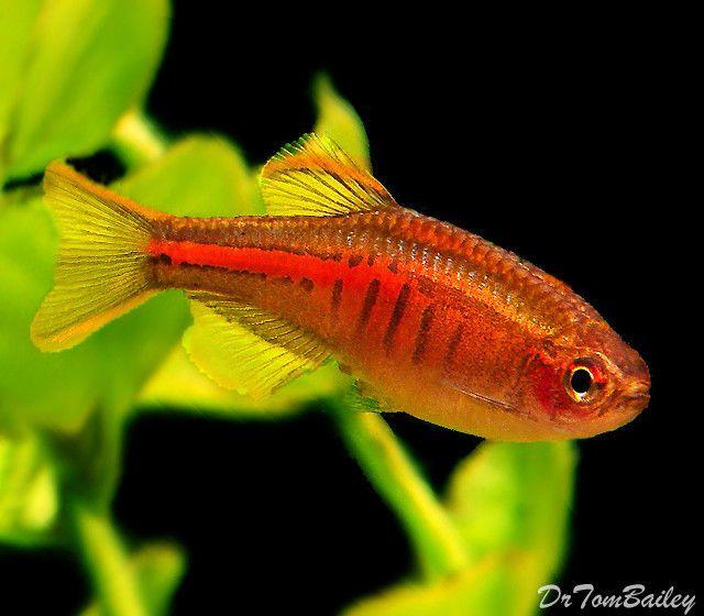 Premium New And Rare Glowlight Danio Nano Fish In 2020 Danio Fish Aquarium Fish Fish