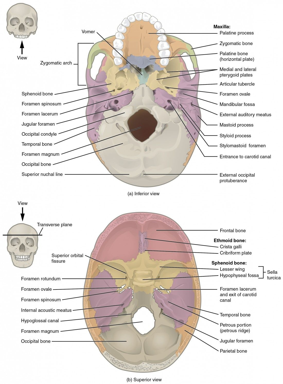 Human Anatomy Skull Pictures Human Anatomy Organs Pinterest