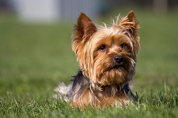 All about sweet Yorkie ) Yorkshire terrier, Top 10