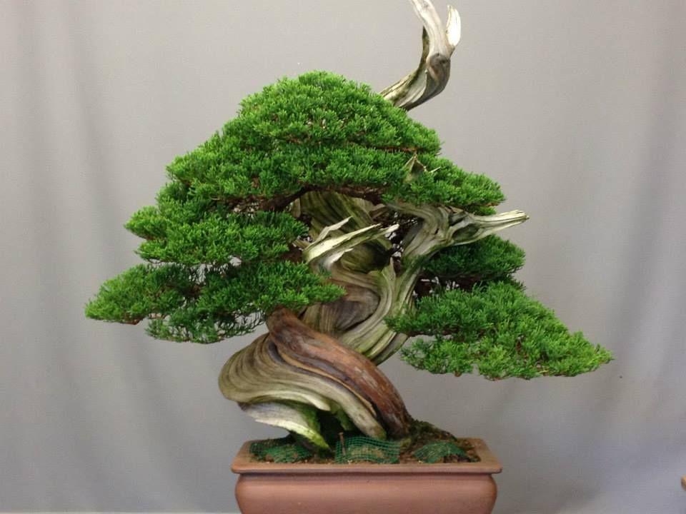 Mario Komsta Jun San Facebook Bonsai Tree Bonsai Juniper Bonsai