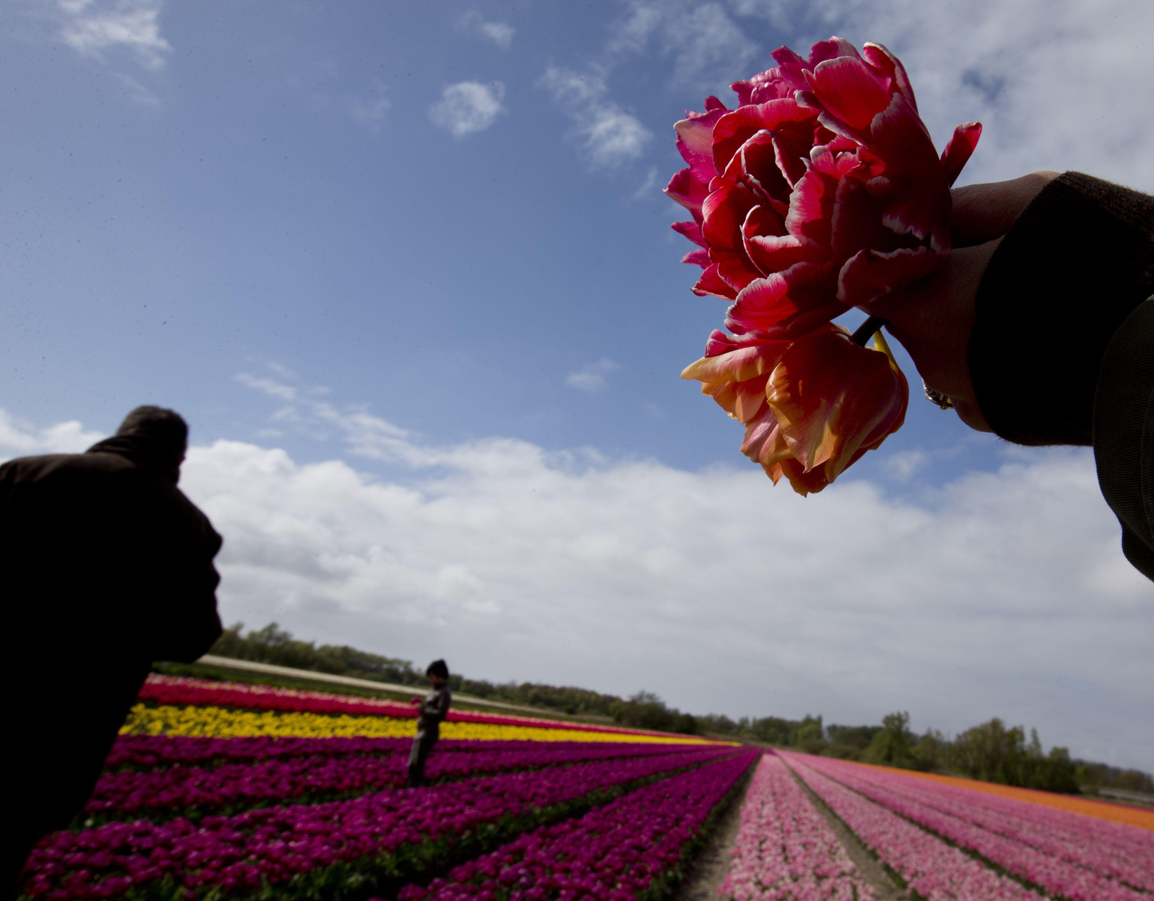 Para Wisatawan Salah Satunya Memegang Beberapa Tangkai Bunga Yang Dipetiknya Mengambil Gambar Perkebunan Tulip Di Dekat Lisse Beland Bunga Tulip Bunga Mekar