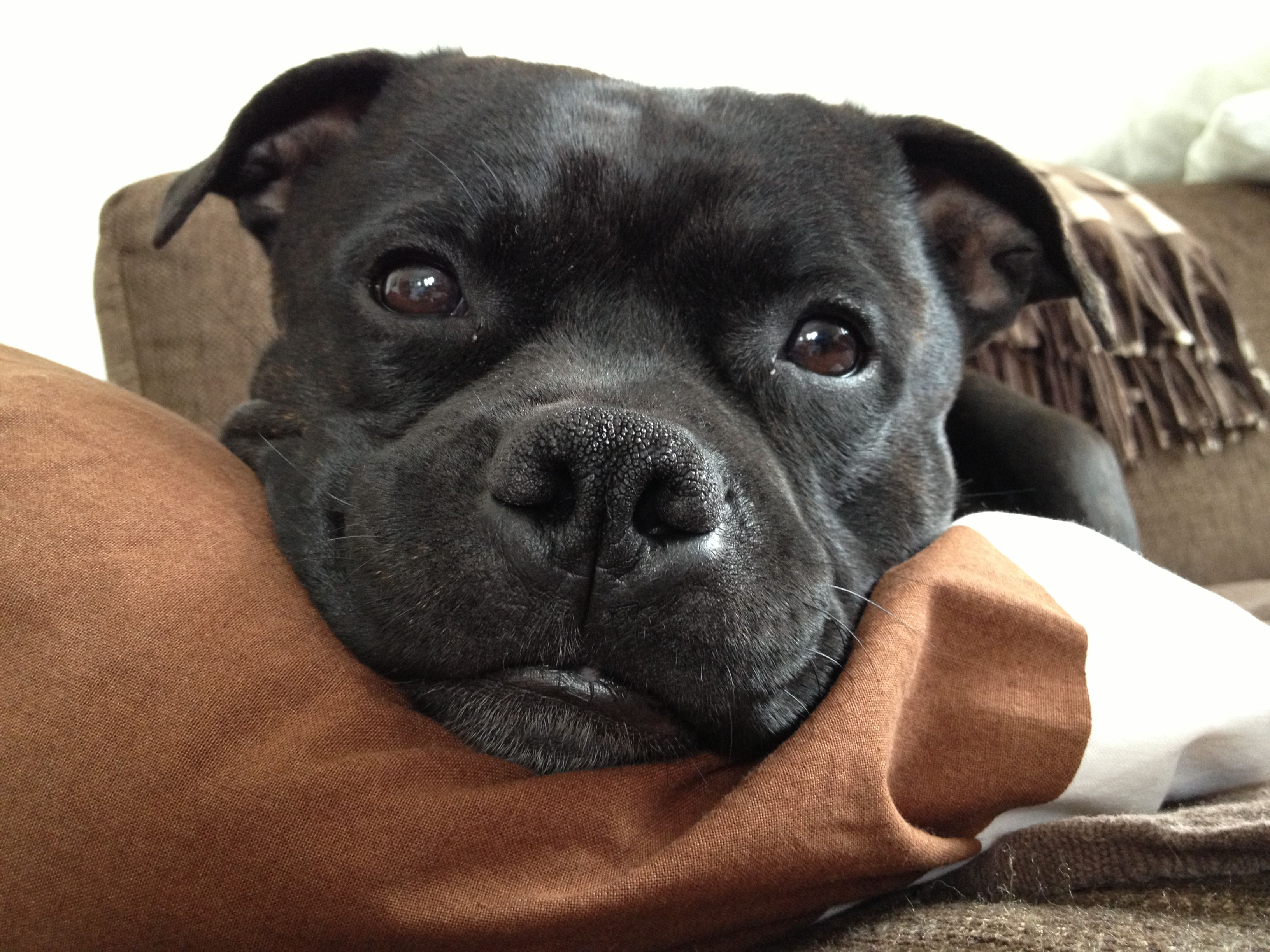 Mauno Staffy From Finland 3 Dogs And Puppies Dogs Breeds
