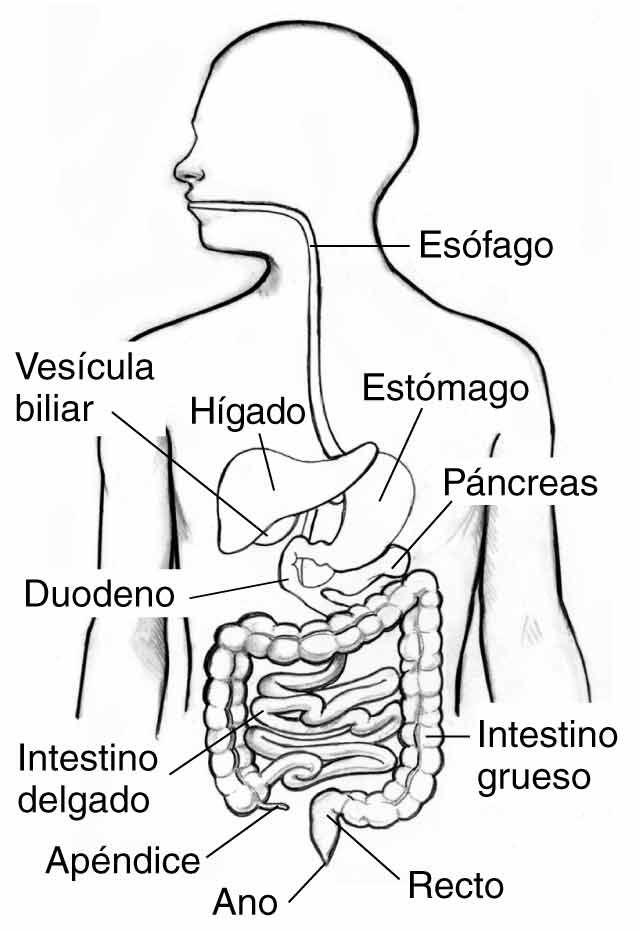 Resultado de imagen para sistema digestivo para colorear | Bautismo ...