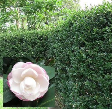 Image result for white camellia sasanqua hedge