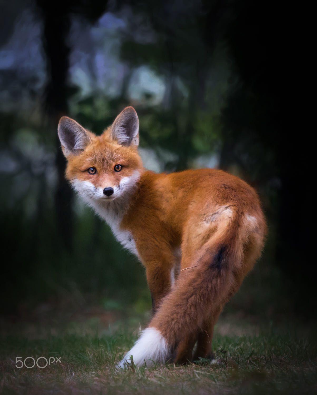 Red Fox by Allan Ogilvie on 500px ♥ Fotos de raposa