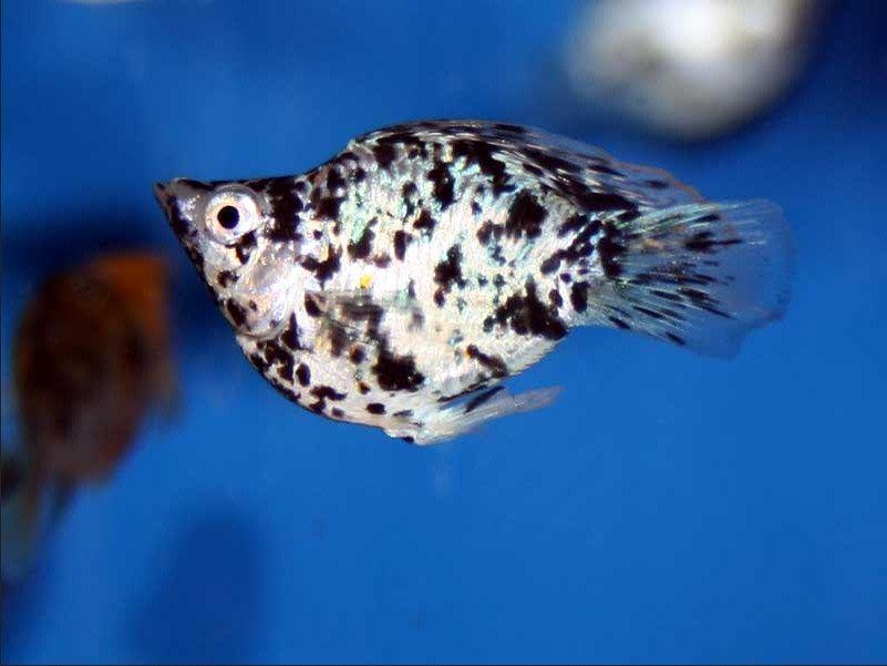 Unduh 990 Gambar Ikan Hias Mati Terpopuler