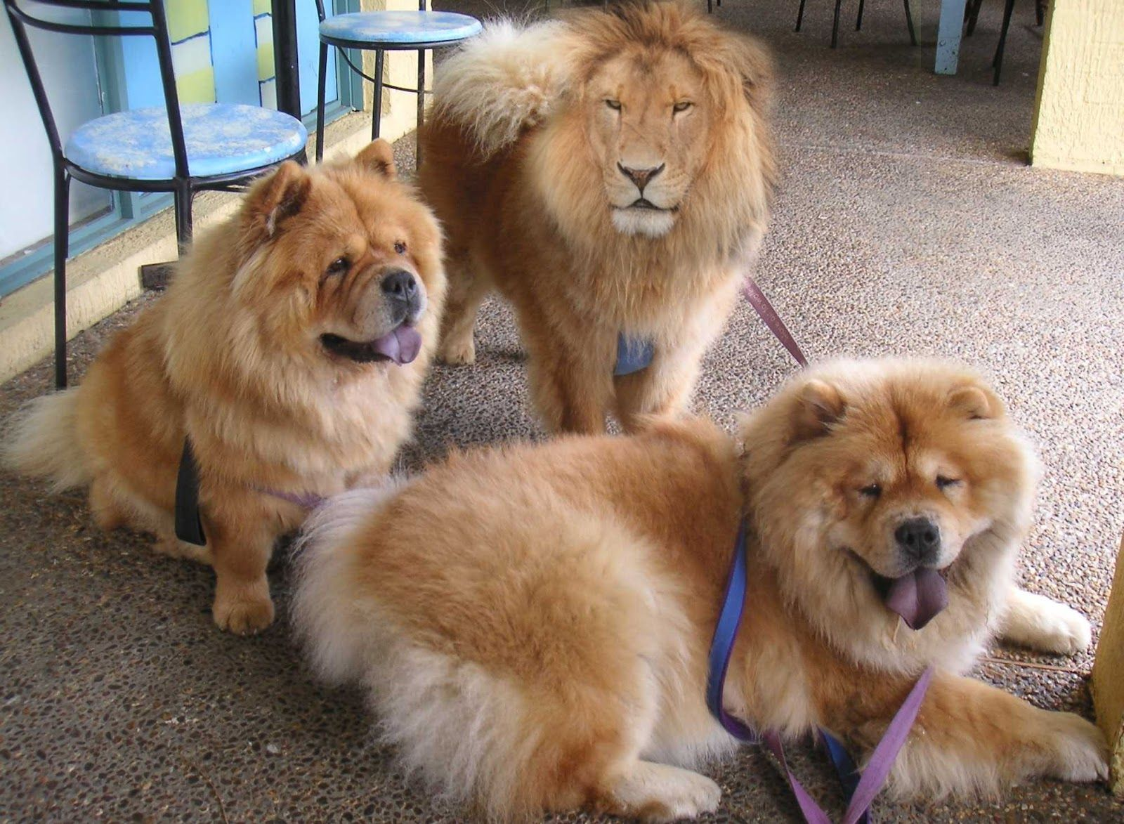Chow chow dog mix
