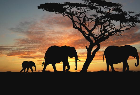 wallpaper elephant silhouette tree sunset africa savannah
