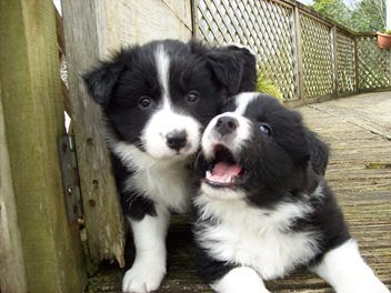 Beautiful Litter Of Border Collie Puppies Nzkc Reg Collie Puppies Border Collie Puppies Border Collie Dog