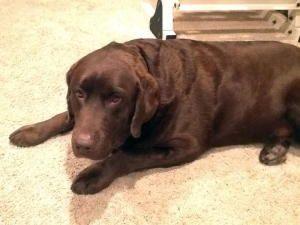 Adopt Oliver On Labrador Retriever Dog Labrador Retriever Retriever Dog