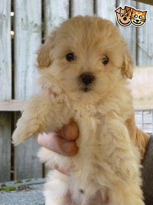 Jackadoodle Jackapoo Puppies Dundee Angus Pets4homes