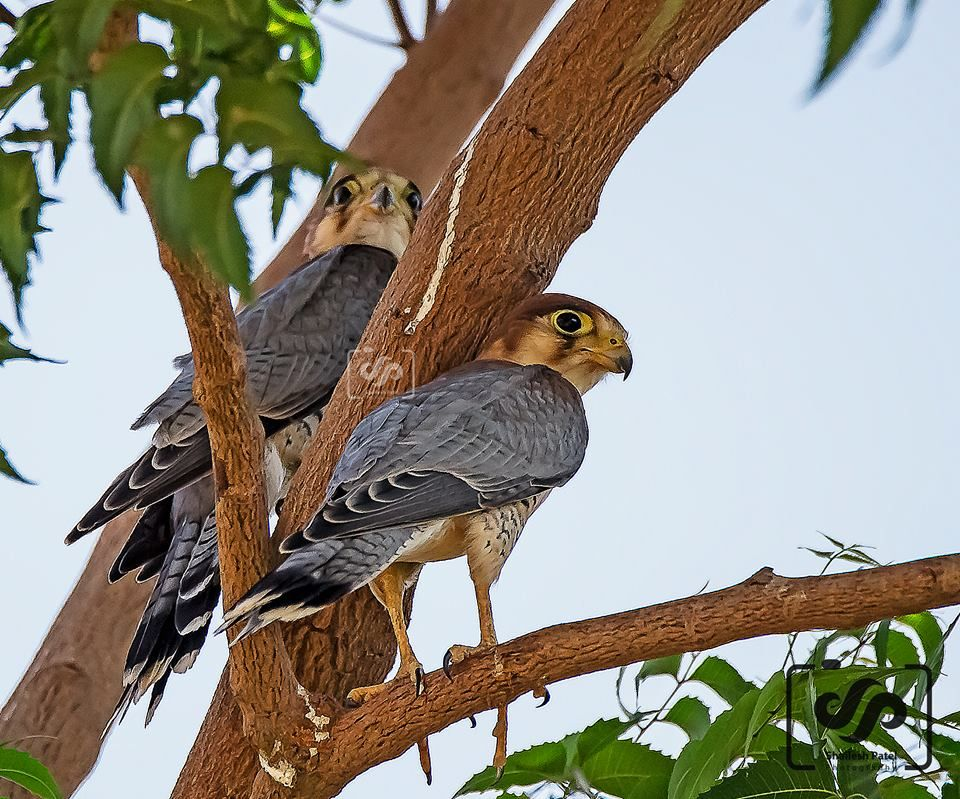Red necked falcons