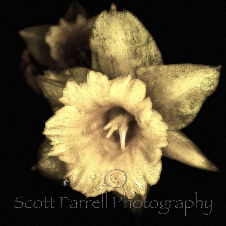 """Yellow Daffodil 12"""" x 12"""" photograph from"""