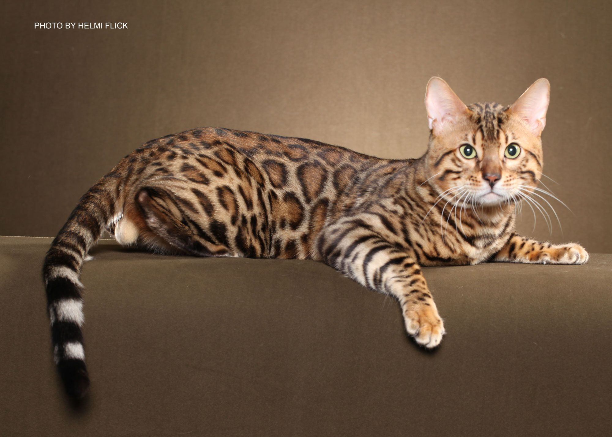 Rare Cat Breeds | Rare Domestic Cat Breeds | www.galleryhip.com ...