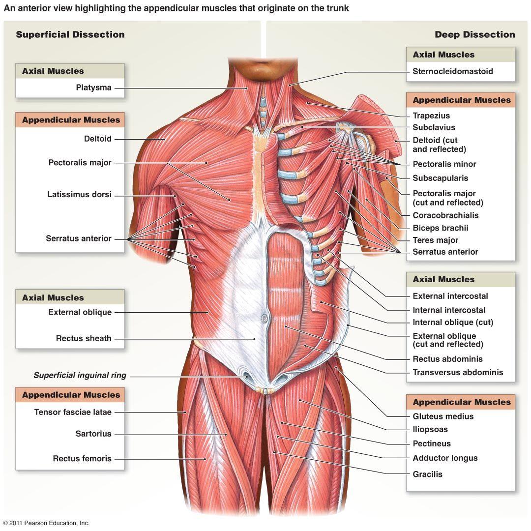trunk muscle anatomy Google Search HUMAN AP – Muscle Anatomy Worksheet