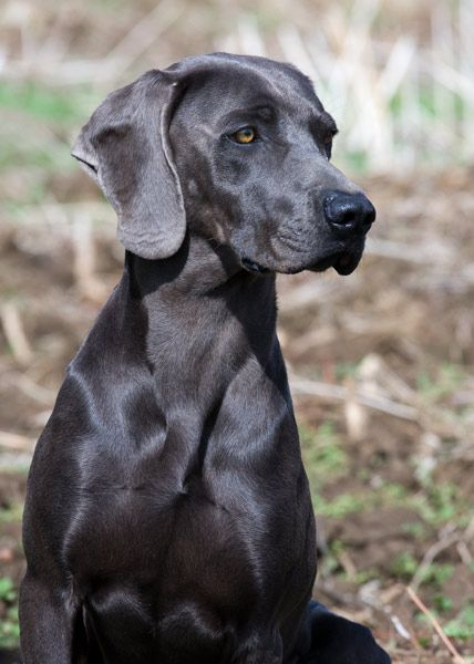 Black Dog That Looks Like A Weimanar