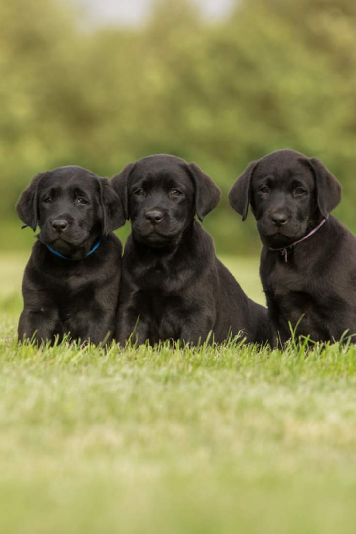 Three Black Labrador Retriever Puppies Sitting Labradorretriever Labrador Retriever Labrador Puppy Puppies
