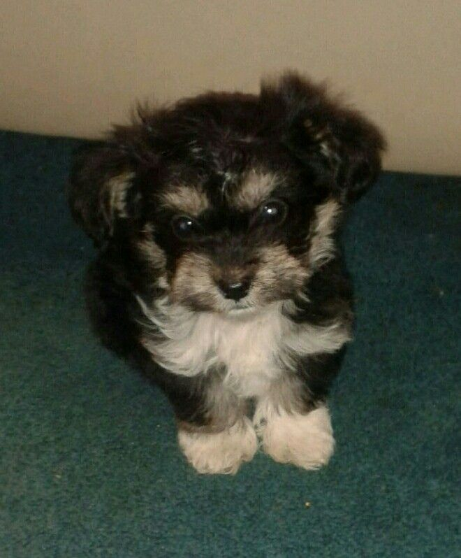 Pippin The Jackapoo Puppy Age 8 Weeks 2 Days Puppies Puppy Dog