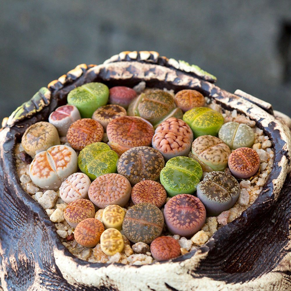 Mixed Rare Lithops Seeds Living Stones Succulent Cactus Plants Seeds 50//100Pcs