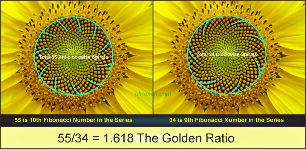 fibonacci numbers in sunflower homework for masters