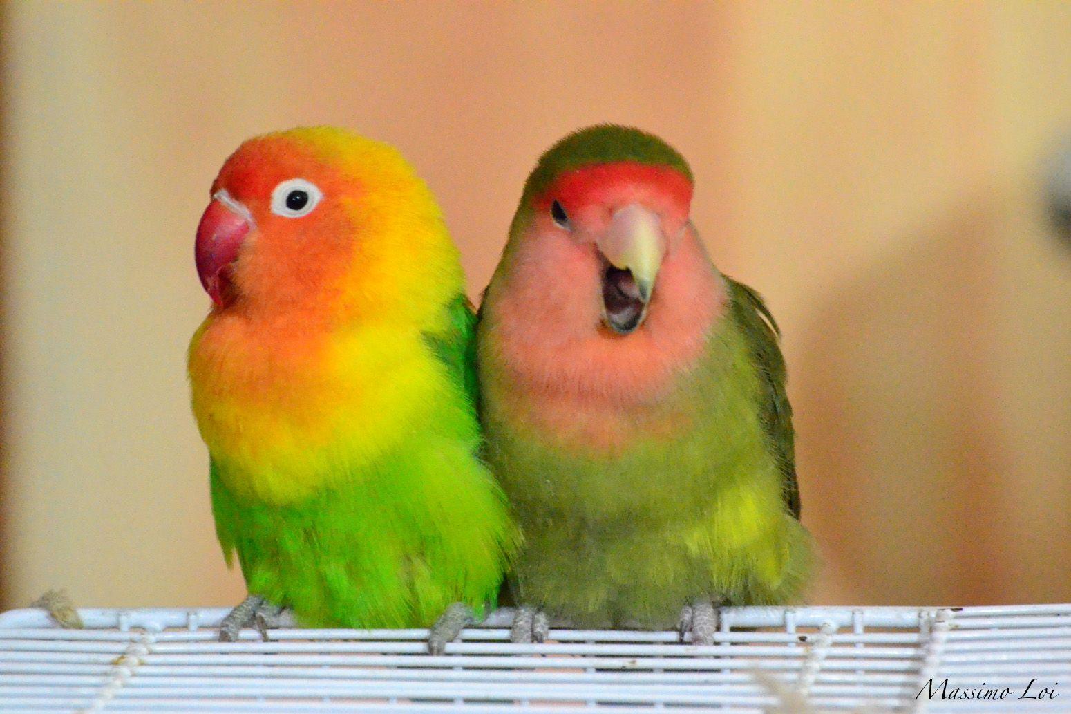 Inseparable Parrot