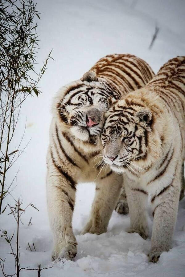 Tigers hugging
