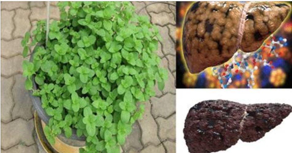 Pin Em Plantas Medicinais