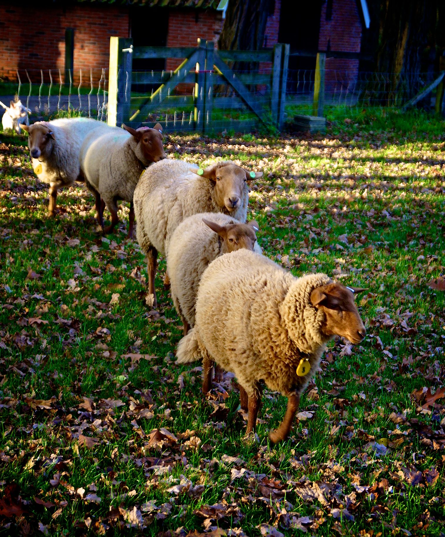 Sheep Sheep Breeds Sheep Lamb Sheep