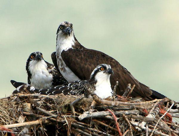 Osprey Family Tiere Fischadler Adler
