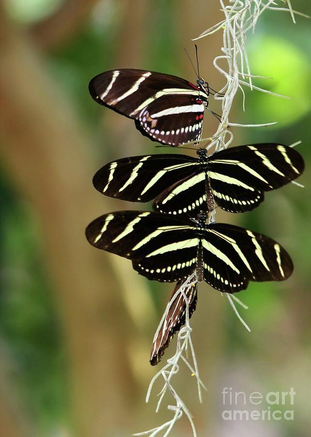Zebra Butterflies Hanging On Photograph  - Zebra Butterflies Hanging On