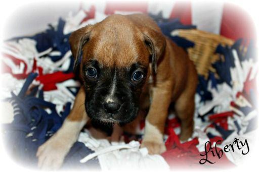 Litter Of 9 Boxer Puppies For Sale In Clayton Nj Adn 29851 On Puppyfinder Com Gender Female Age 5 Weeks Old Boxer Puppies For Sale Boxer Puppies