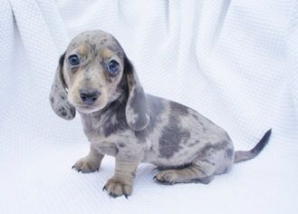 Smooth Blue Dapple With Cream Points Mini Dachshund Dachshund Doxie