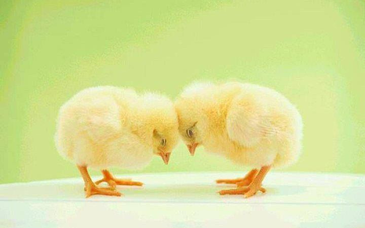 Chicks....cute!