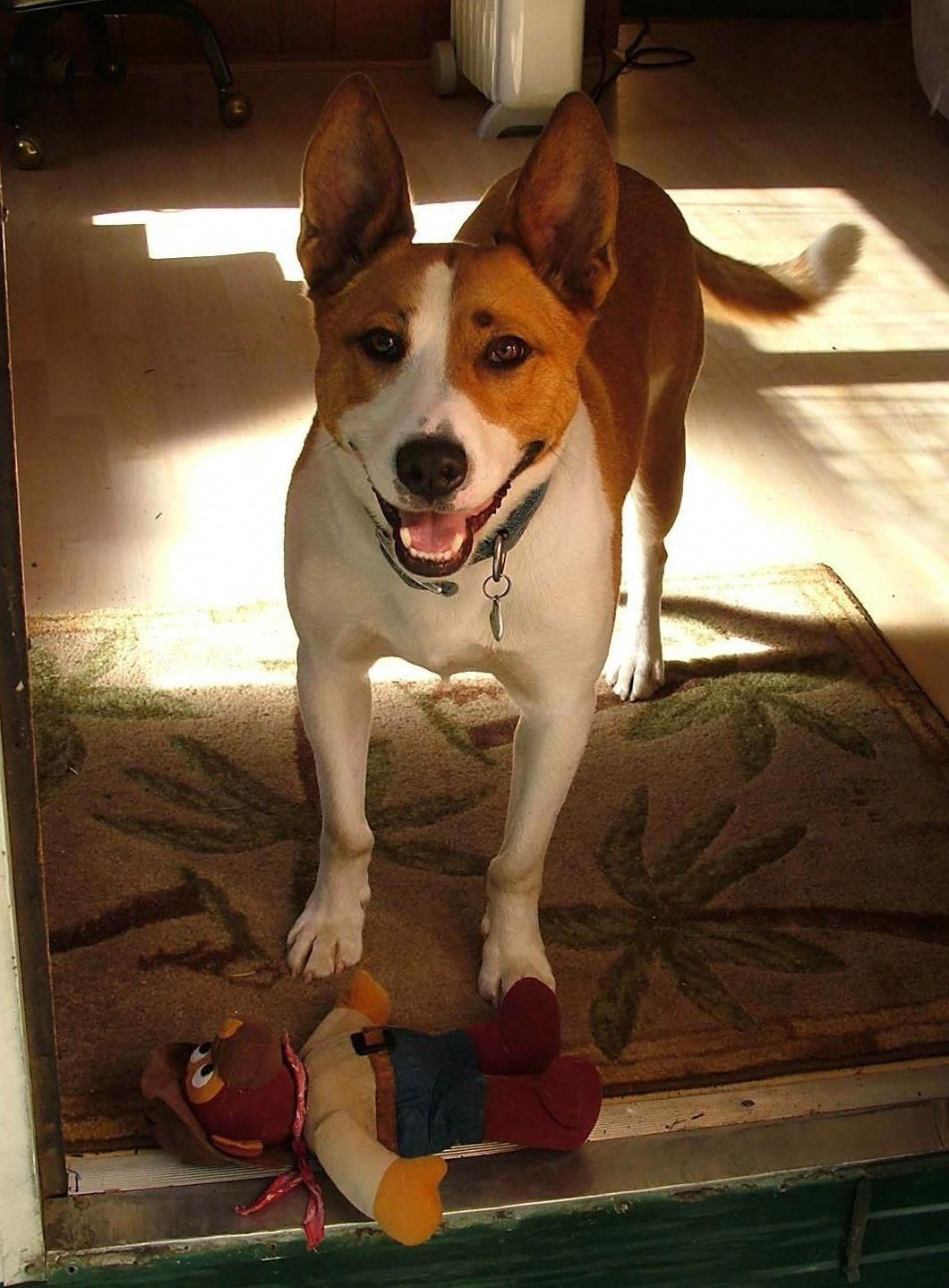 Kona. Basenji / Bull Terrier mix. This is the face that