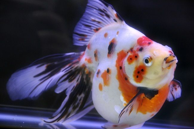 Calico goldfish goldfish koi betta pinterest for Calico koi fish