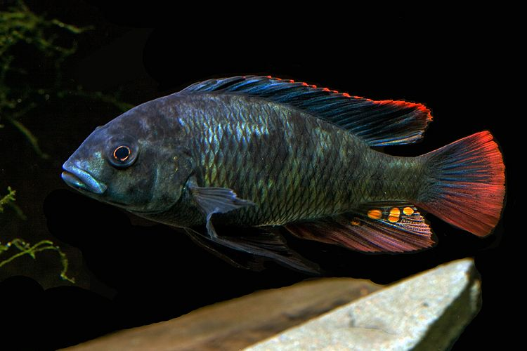 Gallery For Black African Cichlid African Cichlids Cichlids