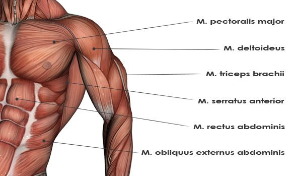 upper body muscles diagram so you know which muscles to target ...