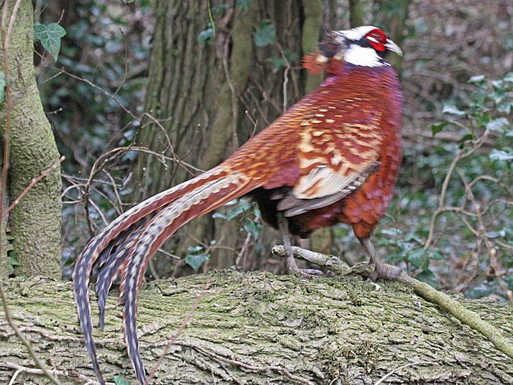 Reeves's x Common Pheasant, Threxton Hill, 17-Mar-12 (A1) L.JPG (750×563)