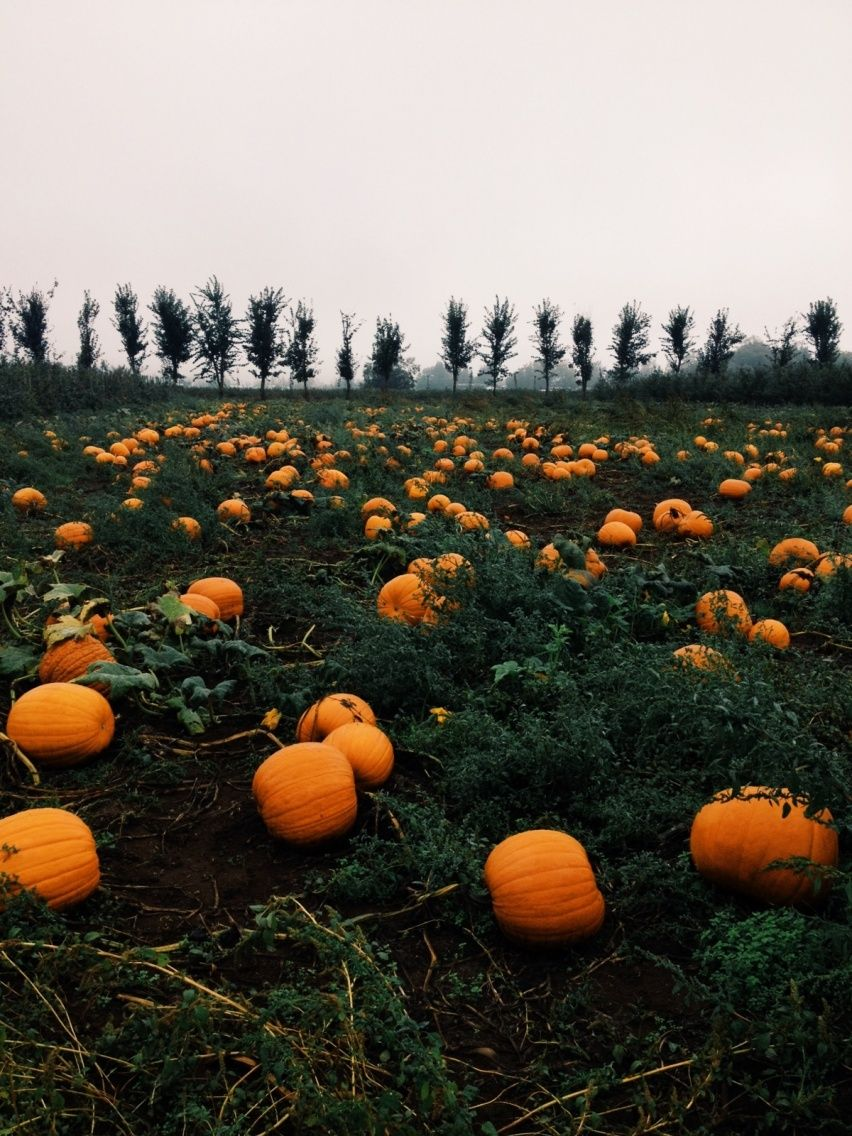Pumpkin patch | VSCO | jerzhelmarie | Autumn aesthetic ...
