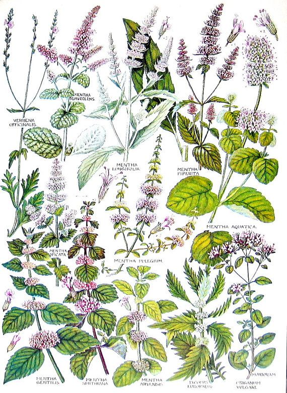 Flower Print Vervain French Mint Penny Royal by