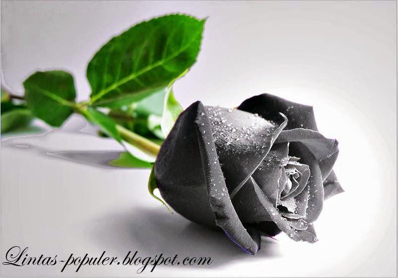 Foto Sampul Fb Bunga Mawar Free Download Gambar Gambar Bunga Mawar Hitam Tersebut Sebagai The World S Best P Foto Sampul Fb Wallpaper Mawar Wallpaper Bunga
