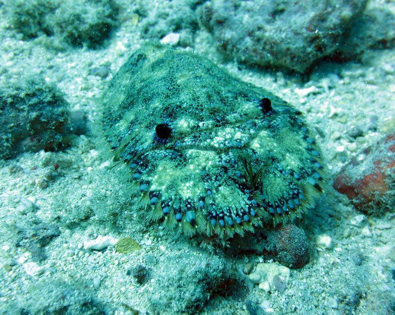 Slipper Lobster Fish pet, Pets, Scuba