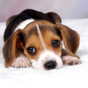 Amazing Small Leg Beagle Adorable Dog - 3064bb41ac68eaf3f73881ecd889e6f4  Snapshot_872542  .jpg