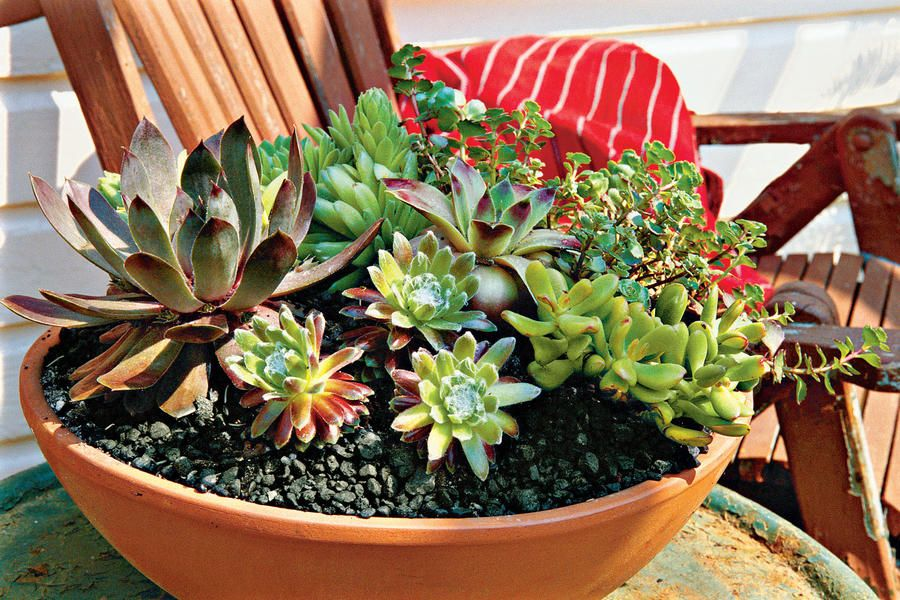 You won't fInd any plants better adapted for growing in pots than succulents. Mostly native to arid regions, succulents store water in their fleshy leaves, stems, and roots, enabling them to resist drought. This means they don't need to be fussed over with frequent watering, so you can go ahead and enjoy a weeklong summer vacation without giving them a second thought.