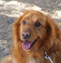 Honey Is An Adoptable Golden Retriever Dog In Prescott Az