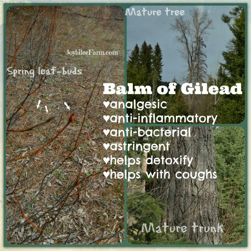 Balm of Gilead. All you need to know abut on how to make the Balm. Collecting bud and so.