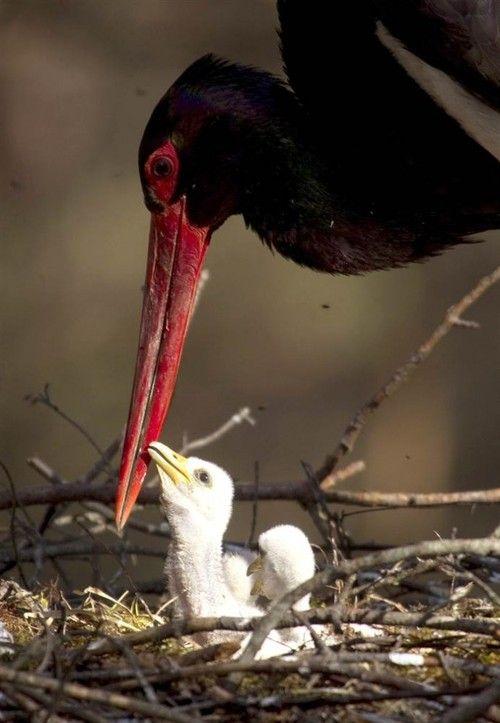 llbwwb:    Feeding Baby Stork by Vasily Fedosenko.