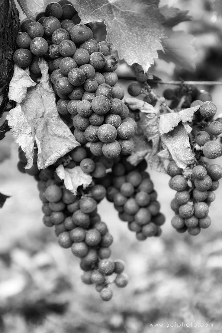 Photography print in black white grapes in a french vineyard click through to my online shop now to see more details